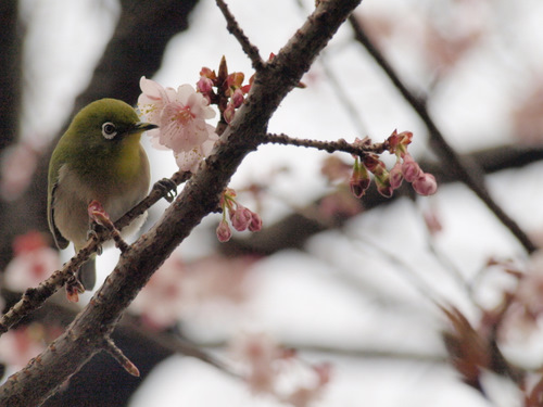 100214_mejiro.jpg