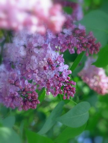 17_Lilac.jpg