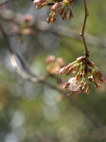 20110331_sakura1.jpg