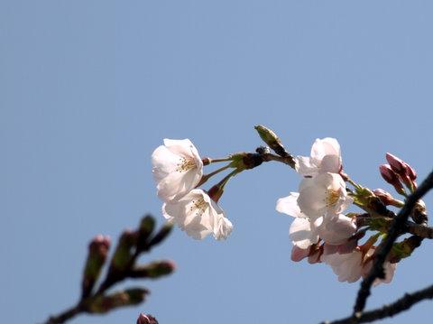 20110331_sakura3.jpg