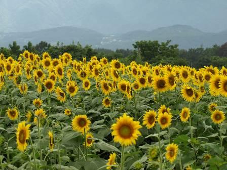 080817_Sunflower4.JPG