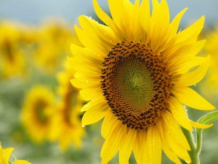 080817_Sunflower5.JPG